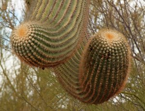 Strange Saguaro arms