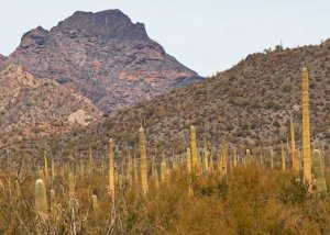 Forest at Organ Pipe