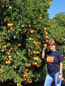 Oranges at Ojai