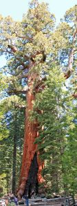 "Sequoia ""Grizzly Giant"""