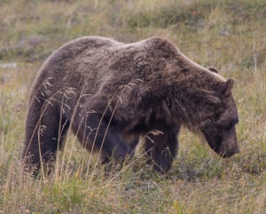 grizzly 2 again