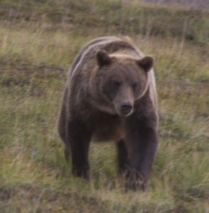 another grizzly