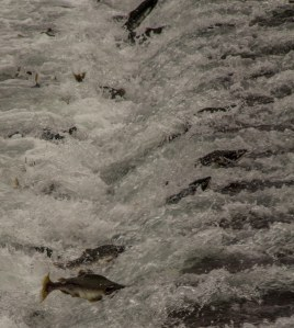Solomon Gulch hatchery salmon
