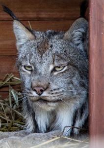 Lynx at rehab center