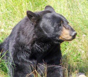Black bear at rehab center