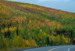 Fall color along the Alaskan Hwy.