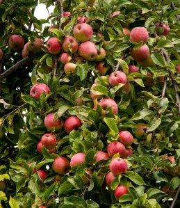 Delicious Lopez Island apples