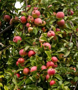 Delicious Lopez Island apples
