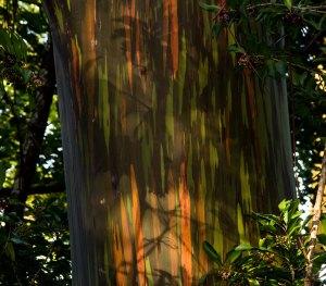 Rainbow Eucalyptus tree on the road to Hana