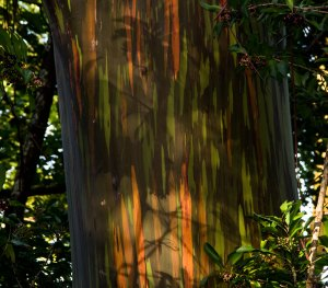 Rainbow Eucalyptus tree on the road to Hana