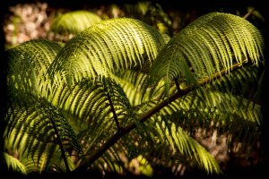 Beautiful tree ferns