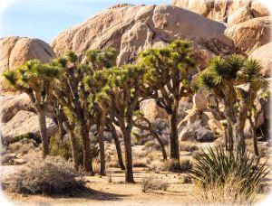 Joshua trees and monzogranite