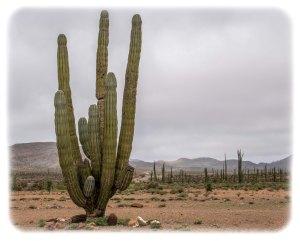 "Cardon - the ""official"" tree of Baja"
