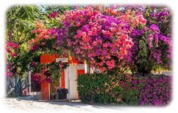 Bougainvillea at San Bartolo