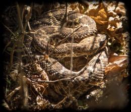 Resident rattlesnake