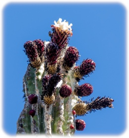 Flowering Cardon - largest cactus on earth