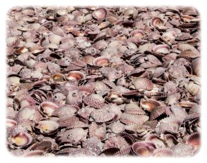 Thousands of scallop shells