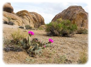 Beavertail cactus in the hills
