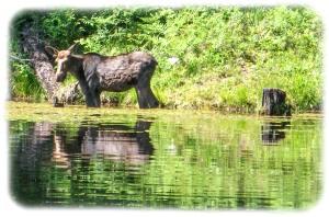 Moose love water lilies