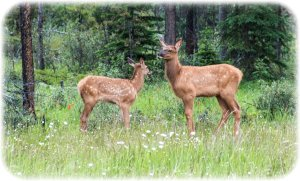 Young elk and calf