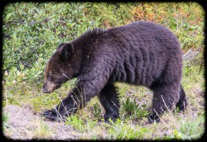 Roadside bear again