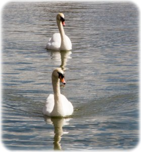 Lakes and swans